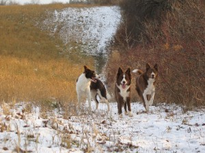 Buzzy & the red girls enjoying their walk