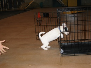The start of distance work! Puppy Exie driving away from Tracy into his crate.