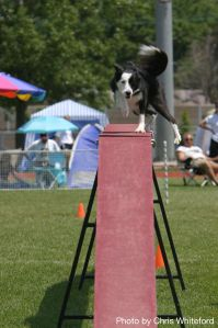 An agility dog teetering on the edge!