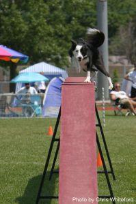 An agility dog teetering on the edge!